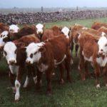 Produção de Terneiros Carne Certificada Pampa