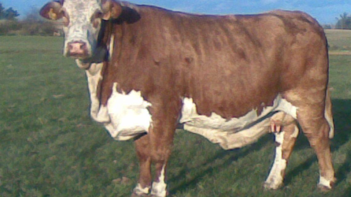 Uma vaca que é uma pintura!
