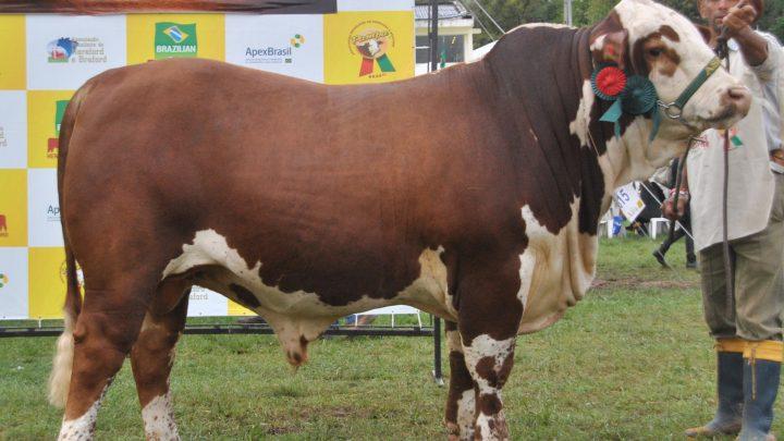 ASP colocará a venda Campeão Touro Junior Braford da Expointer 2012