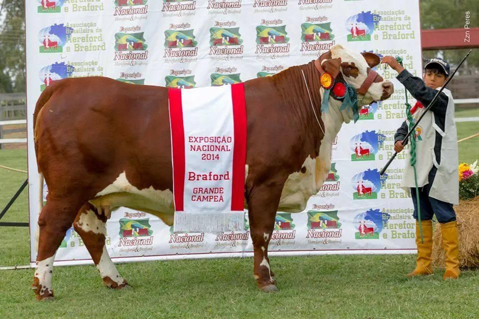 Genética ASP supera campeãs da Expointer 2013 e se consagra Bicampeã na raça Braford em 2014.