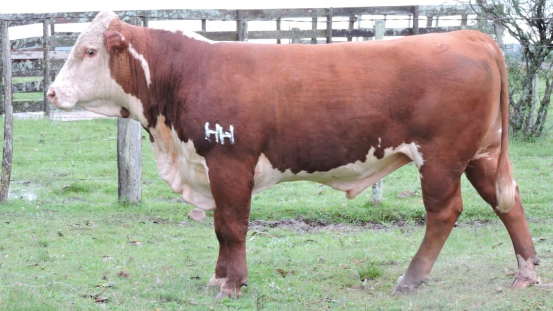 Touro a Venda – Hereford Mocho – ASP H122 Triara